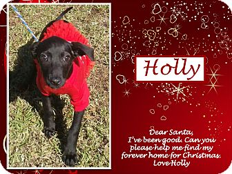 Whippet Mix Puppy for adoption in Ringwood, New Jersey - Holly
