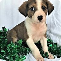 Adopt A Pet :: Rudolph - Mooresville, NC