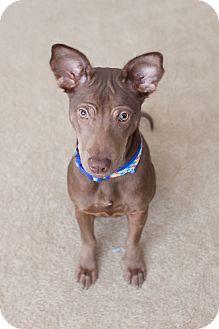 Kingwood, TX - Basenji/Pharaoh Hound Mix. Meet Gia a Puppy ...