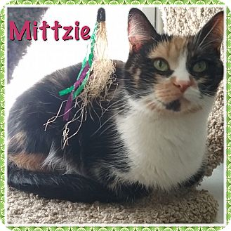 Calico Cat for adoption in Cedar Springs, Michigan - Mittzie