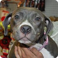 Adopt A Pet :: Becky - Brooklyn, NY