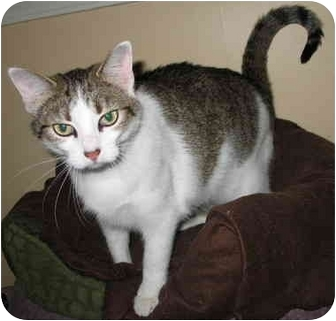 Domestic Shorthair Cat for adoption in Cincinnati, Ohio - Darla