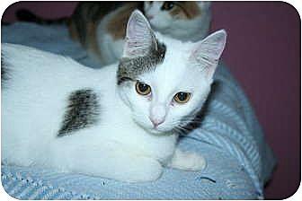 Domestic Shorthair Cat for adoption in Santa Rosa, California - Astrid