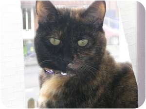 Domestic Shorthair Cat for adoption in Ocean City, New Jersey - Asbury