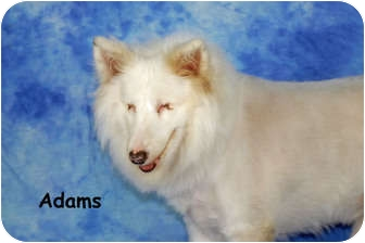 Sheltie, Shetland Sheepdog Dog for adoption in Ft. Myers, Florida - Adams
