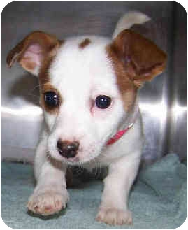 Jack Russell Terrier Puppy for adoption in Phoenix, Arizona - ABBY