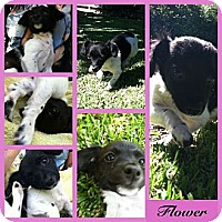 Adopt A Pet :: Flower - Orange Cove, CA