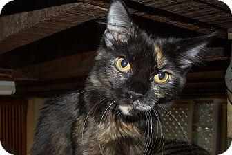 Domestic Mediumhair Cat for adoption in Acme, Pennsylvania - REBECCA