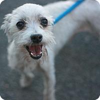Adopt A Pet :: Sammy-Maltipoo! - Canoga Park, CA