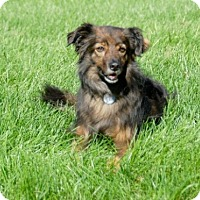 Adopt A Pet :: Josey - Circle Pines, MN