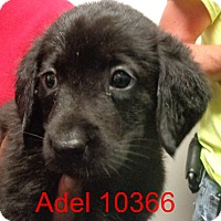 Adopt A Pet :: Adel - baltimore, MD