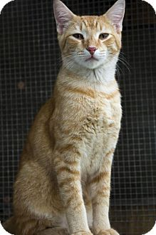 Domestic Shorthair Cat for adoption in Sarasota, Florida - Butterscotch