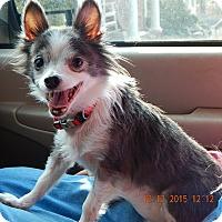Adopt A Pet :: Precious #2(6 lb) Sweetheart! - SUSSEX, NJ