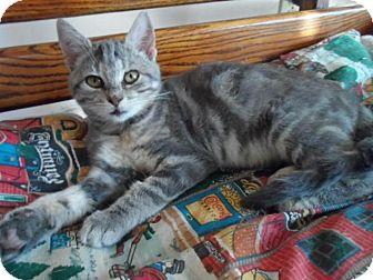 Domestic Shorthair Cat for adoption in Breinigsville, Pennsylvania - Gracie