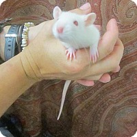 Rat for adoption in Cocoa, Florida - Paul (Cocoa Center)