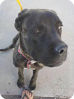 """Mastiff Mix Dog for adoption in El Paso, Texas - Dory """"Zana"""""""