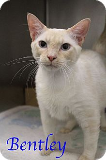 Domestic Shorthair Cat for adoption in Bradenton, Florida - Bentley
