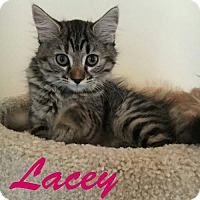 Domestic Mediumhair Kitten for adoption in Capshaw, Alabama - Lacey