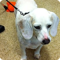 Beagle Mix Dog for adoption in Madisonville, Louisiana - Strider