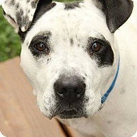 Adopt A Pet :: Moo - Troy, MI