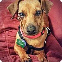 Adopt A Pet :: Jack Reno - San Antonio, TX