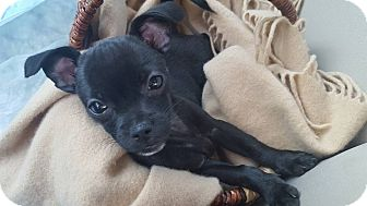 Brussels Griffon Mix Puppy for adoption in Fort Atkinson, Wisconsin - Betty