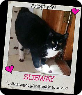 Domestic Shorthair Cat for adoption in Lincoln, Nebraska - SUBWAY