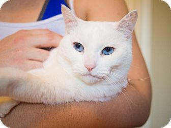 Domestic Shorthair Cat for adoption in Houston, Texas - Barbie