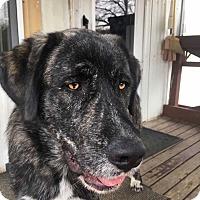 Adopt A Pet :: Gunner - ST LOUIS, MO