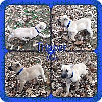 Adopt A Pet :: Tripper pending adoption - Manchester, CT