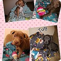 Adopt A Pet :: Eden, Addy, Jade and Tug - Ogden, UT