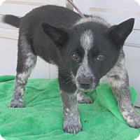 Adopt A Pet :: Blaze - Birch Tree, MO