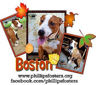 Bull Terrier/Corgi Mix Dog for adoption in Colleyville, Texas - Boston