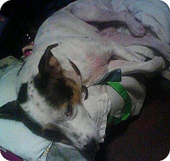 Australian Shepherd/Terrier (Unknown Type, Medium) Mix Dog for adoption in Crosby, Texas - Skyler