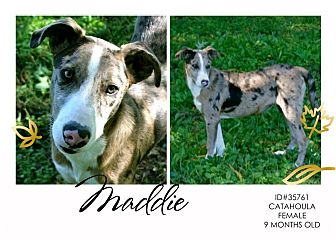 Catahoula Leopard Dog Mix Dog for adoption in Lufkin, Texas - Maddie