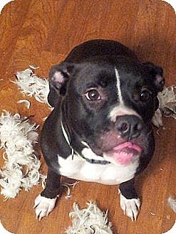 Boxer Mix Dog for adoption in Crown Point, Indiana - Lucy