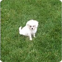 Adopt A Pet :: Callie - Hilliard, OH