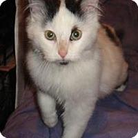 Adopt A Pet :: Gato - Sterling Hgts, MI