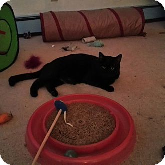 Domestic Shorthair Cat for adoption in Hamilton, New Jersey - Longfellow
