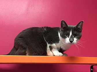 Domestic Shorthair Cat for adoption in Topeka, Kansas - Balthazaar
