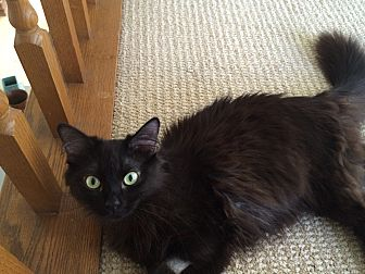 Domestic Longhair Cat for adoption in Monrovia, California - Midnight