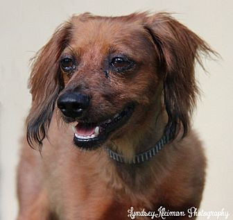 Dachshund Dog for adoption in Weston, Florida - Jasper