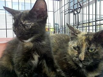 Domestic Mediumhair Cat for adoption in Land O Lakes, Florida - Blossom & Petal