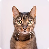 Adopt A Pet :: Keetah *Declawed* (in foster) - Scottsdale, AZ