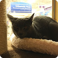 Adopt A Pet :: Mr. Gray - Riverside, CA