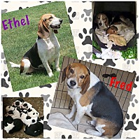 Adopt A Pet :: Ethel (bonded w/Fred) - Fort Wayne, IN