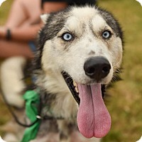 Siberian Husky Mix Dog for adoption in Dallas, Texas - Robin II