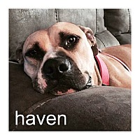American Pit Bull Terrier/Black Mouth Cur Mix Dog for adoption in Dallas, Texas - Haven