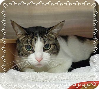 Domestic Shorthair Cat for adoption in Marietta, Georgia - HYDRO (R)