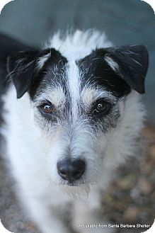 Terrier (Unknown Type, Small) Mix Dog for adoption in Goleta, California - Skipper